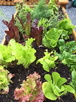 Our Lettuce garden bed