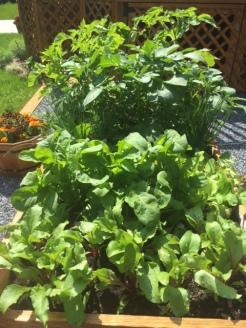 Potatoes, Arugula herbs an beets