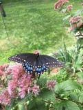 BlackSwallowtail