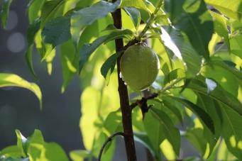Our Peach